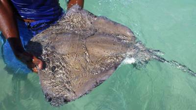 Male Southern Stingray, Stingray City Snorkel, Antigua