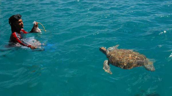 Swim with Green Sea Turtles, Barbados Turtle Snorkel