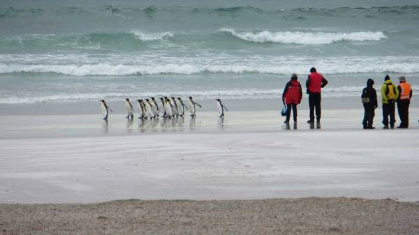 Volunteer Point King Penguin Beach Walk, Falklands