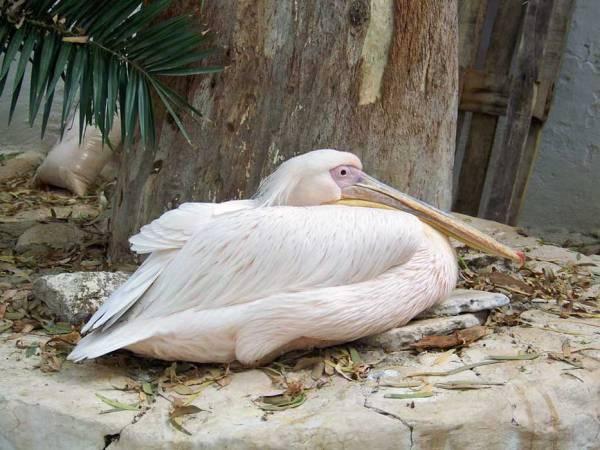 Petros the Pelican Mascot, Mykonos Shore Excursion