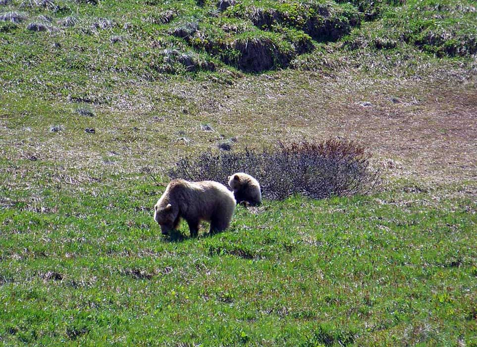 Grizzly Bear and Cub, Denali Day Tour