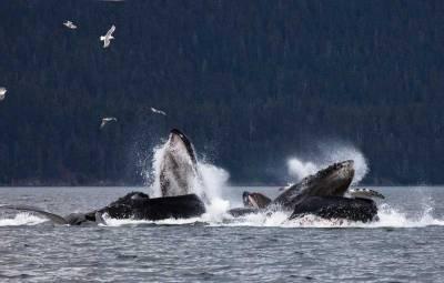 Humpback Whales Bubble Net Feeding, Visit Juneau