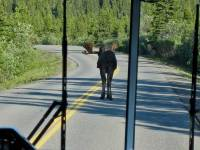 Moose Blocking the Road, Denali Day Tour