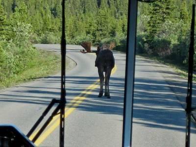 Moose Blocking the Road, Denali Day Tour
