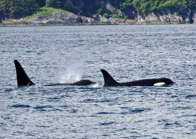 Orca Pod Killer Whales, Juneau Whale Watching, Star Princess Alaska Cruise