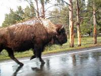 Bison along Side, Sharing the Road, Yellowstone Visit