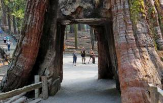 California Tunnel Tree, Mariposa Grove, Yosemite Rim Fire Visit