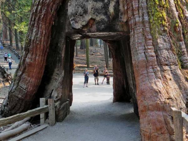 California Tunnel Tree, Mariposa Grove, Yosemite Rim Fire Visit