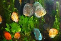 Discus, Georgia Aquarium