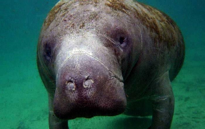 Florida Manatee Snorkel