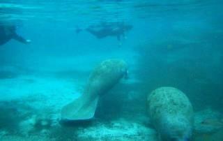 Florida Manatees, Manatee Snorkel