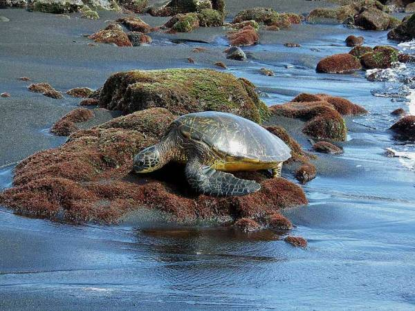 Green Sea Turtle, Punalu'u Black Sand Beach, Visit the Big Island
