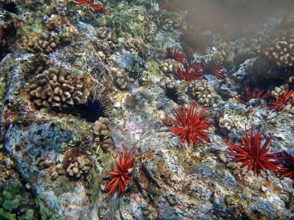 Coral & Sea Urchins, Maui