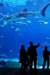 Open Ocean Exhibit, Whale Shark, Georgia Aquarium