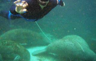 Snorkeling with Florida Manatees
