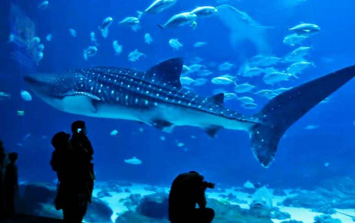 Whale Shark, Open Ocean Exhibit, Georgia Aquarium