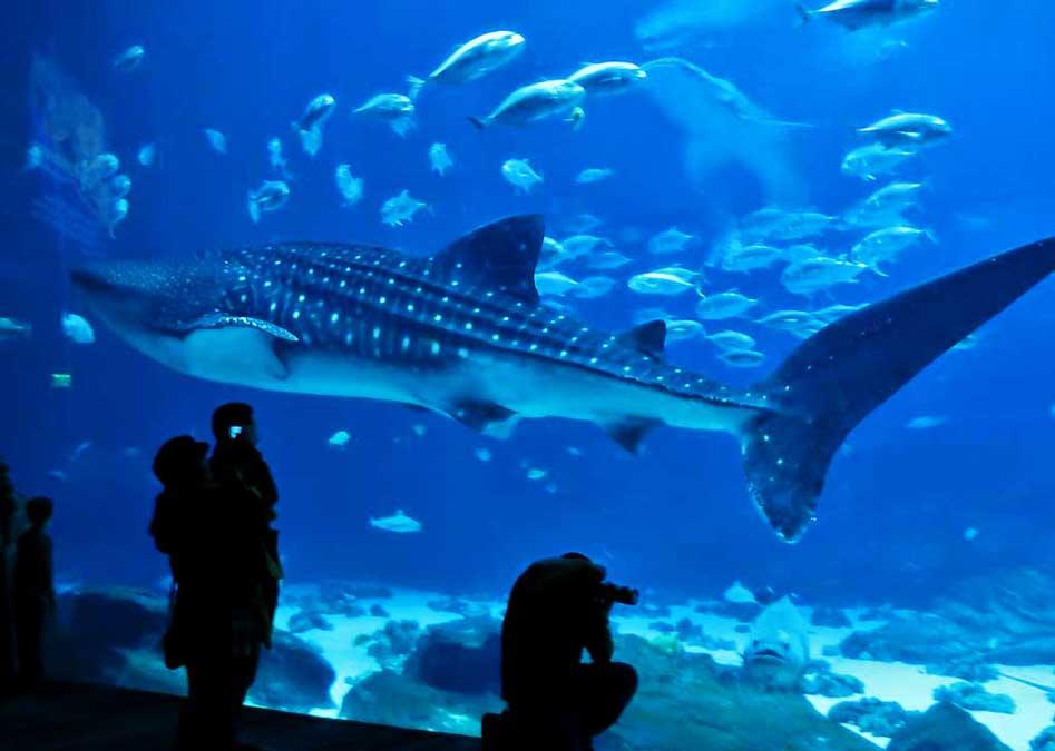 Whale Shark, Open Ocean Exhibit, Georgia Aquarium
