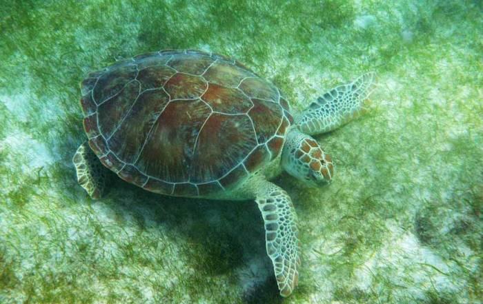 Green Sea Turtle, Akumal Bay Turtle Snorkel
