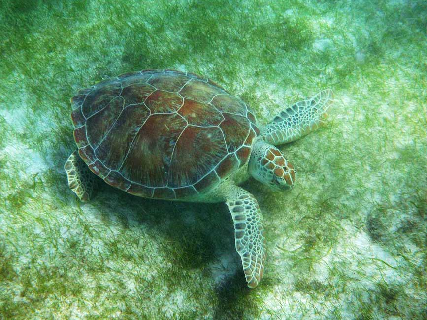 Green Sea Turtle, Akumal Bay Turtle Snorkel
