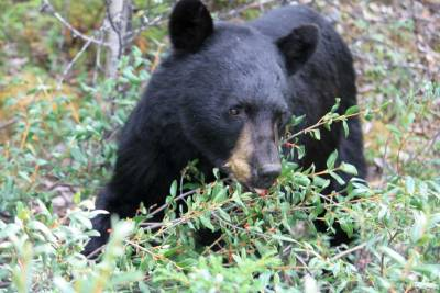 Black Bear, Visit Jasper National Park