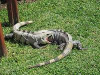 Iguanas Fighting, Gran Bahia Principe Tulum