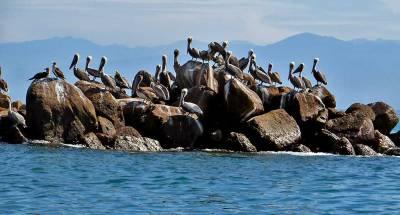 Pelicans, Punta Mita, Marietas Island Day Trip
