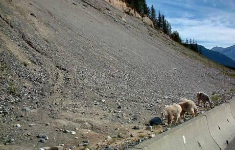 Roadside Mountain Goats, Kootenay Nattional Park
