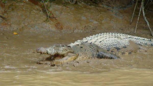 Crocodile, Kinabatangan River, Borneo