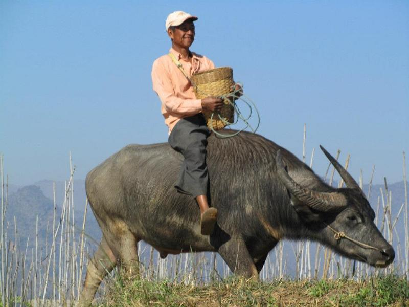 Water Buffalo, Inle Lake, Visit Myanmar