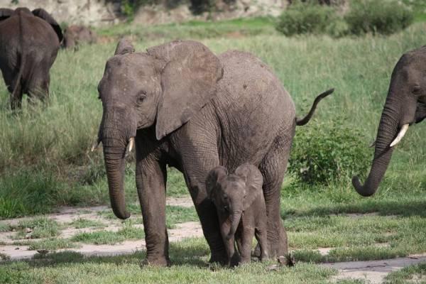 Baby Elephant, Tarangire National Park, Tanzania