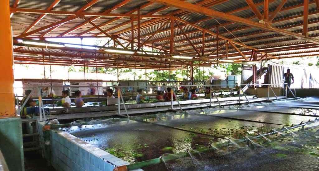 Banana Plantation Processing, Puerto Limon Shore Excursion
