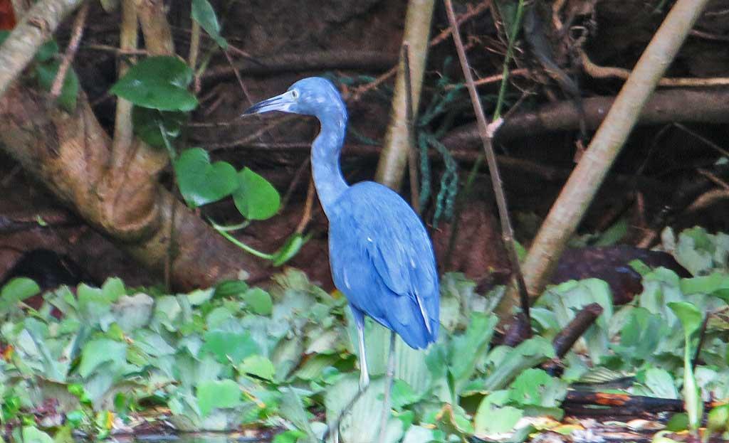 Blue Heron, Tortuguero Canals, Limon Shore Excursion