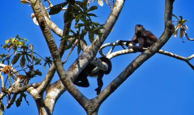 Howler Monkeys, Puerto Limon Shore Excursion