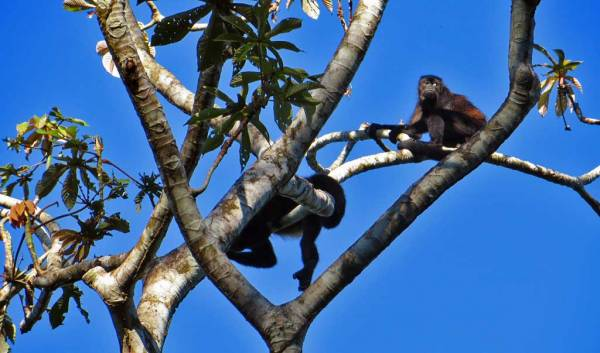 Howler Monkeys, Puerto Limon Shore Excursion