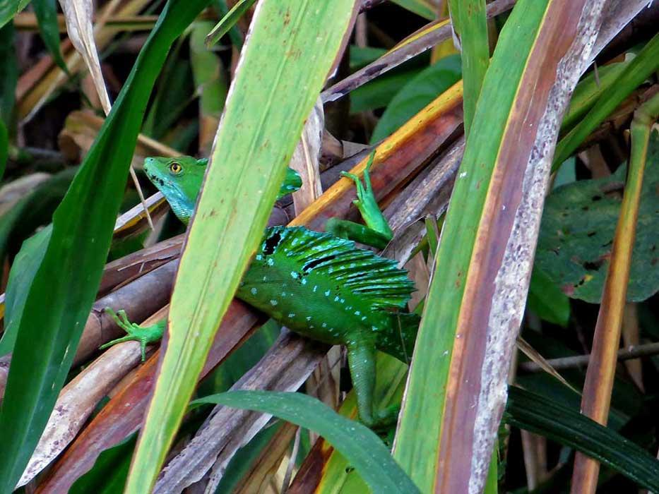 Jesus Christ Green Basilisk Lizard, Tortuguero Canals, Puerto Limon Shore Excursion