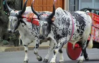 Ox Cart Parade, San Jose, Costa Rica Tour