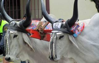 Oxen, Ox Cart Parade, San Jose, Costa Rica Tour