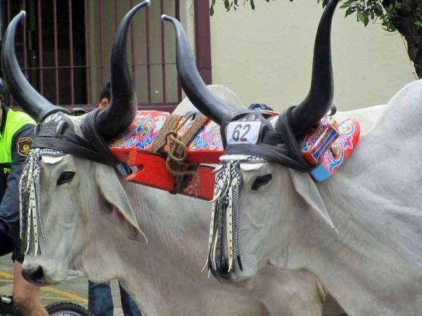 Oxen, Ox Cart Parade, San Jose, Costa Rica Tour