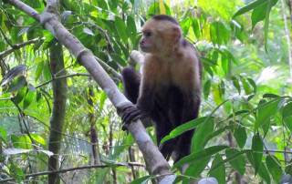 White Faced Monkey, Manuel Antonio National Park, Costa Rica Tour