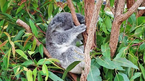 Lone Pine Koala Sanctuary, Brisbane Shore Excursion