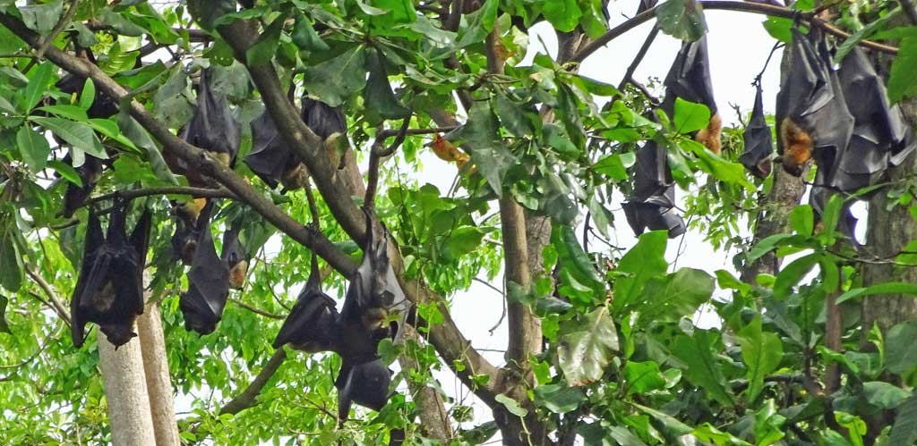 Wild Bats, Port Moresby Nature Park