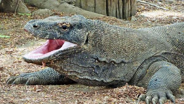 Komodo Dragon, Komodo Island Shore Excursion