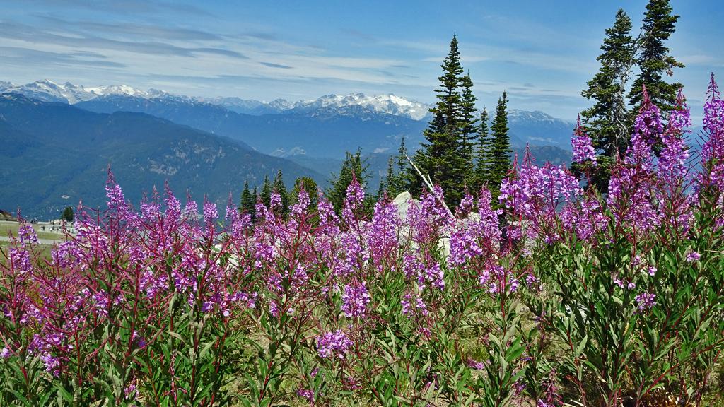 Fireweed, Blackcomb Peak