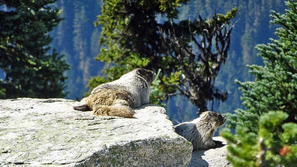 Marmots, Alpine Loop, Blackcomb Peak